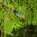 Western red cedar (Thuja plicata).- Lena Lake Hike