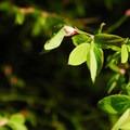 Unidentified berry species (help us identify it by providing feedback).- Lena Lake Hike