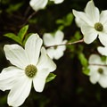 Dogwood in the spring.- Ice Cap Campground
