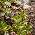 Pinemat manzanita.- Proxy Falls Hiking Loop