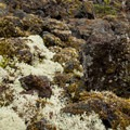 Fruticose lichen at home in a lava field.- Proxy Falls Hiking Loop