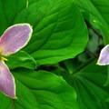Western trillium (trillium ovatum) in late bloom.- Marquam Nature Park + Trail