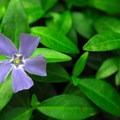 Blue phlox (Phlox divaricata).- Marquam Nature Park + Trail