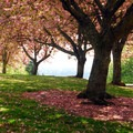 Cherry blossoms late in the flowering season.- Council Crest Park