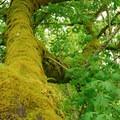 Moss covered bigleaf maple (Acer macrophyllum).- Scotts Mills County Park