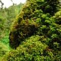 Red alder engulfed in moss.- Abiqua Falls