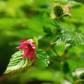 Salmonberry (Rubus spectabilis).- Butte Creek Falls Hike