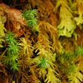 Common haircap moss (Plytrichum commune) along with other mosses.- Butte Creek Falls Hike
