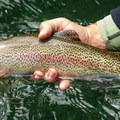 The run is full of healthy native rainbow trout.- McKenzie River: Olallie to Paradise