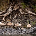 Canada geese gathered together to better protect their nests.- John Day River: Clarno to Cottonwood Bridge