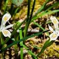 Yellowleaf iris.- Gold Point Trail