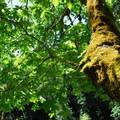 Shade under a bigleaf maple.- Wilson River, Footbridge Day Use Area