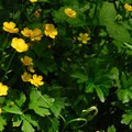 Nonnative creeping buttercup (Ranunculus repens).- Keenig Creek Campground