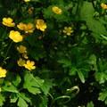 Nonnative creeping buttercup (Ranunculus repens).- Keenig Creek Campground