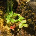 Wild strawberry.- Wilson River, Mile 15