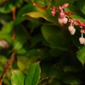 Salal (Gaultheria shallon).- Barview Jetty County Park