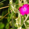 Nonnative rose campion (Silene coronaria).- Manzanita Beach