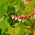 Salal (Gaultheria shallon).- Arcadia Beach State Recreation Site