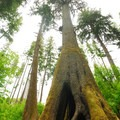 Cathedral Tree.- Cathedral Tree Hike