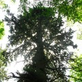 Giant Sitka spruce along the Scarborough Hiking Trail.- Fort Columbia State Park