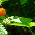 Salmonberry (Rubus spectabilis).- Fort Columbia, Scarborough Hill