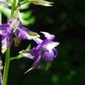 Poison delphinium (Delphinium trolliifolium).- Fort Columbia, Scarborough Hill