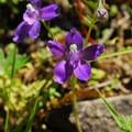 Showy larkspur (Delphinium bicolor).- Salt Creek Falls