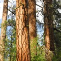 A giant ponderosa pine (Pinus ponderosa) grove at the north end of Smiling River Campground.- Metolius River Trail