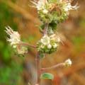 White-leafed phacelia (Phacelia hastata).- Metolius River Trail