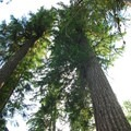 Giant Douglas fir (Pseudotsuga menzies) looming over campsites.- Clackamas River, Upper Campsites