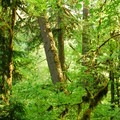 Old-growth within Ripplebrook Campground.- Ripplebrook Campground