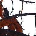 Great horned owl (Bubo virginianus).- Camp Polk Meadow Preserve