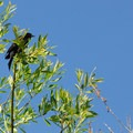 Male red-winged blackbird (Agelaius phoeniceus).- Camp Polk Meadow Preserve