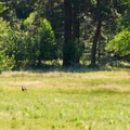 Wild turkey in the distance at Camp Polk Meadow Preserve.- Camp Polk Meadow Preserve