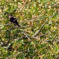 Female red-winged blackbird (Agelaius phoeniceus).- Camp Polk Meadow Preserve