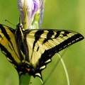 Oregon swallowtail butterfly (Papilio oregonius).- Camp Polk Meadow Preserve