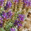 Field lupine (Lupinus nanus).- Camp Polk Meadow Preserve