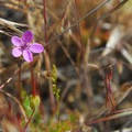 Redstem storksbill (erodium cicutarium).- Camp Polk Meadow Preserve