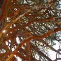 Giant ponderosa pine (Pinus ponderosa).- Camp Polk Meadow Preserve