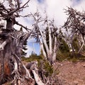 Ancient white bark pine.- Lookout Mountain from High Prairie