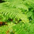 Ferns along the trail.- Curly Creek Falls