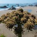 Harris Beach.- Harris Beach