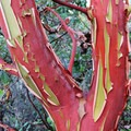 Pacific madrone (Arbutus menziesii).- Lower Table Rock Hike