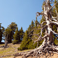 Dead whitebark pine.- Discovery Point Trail