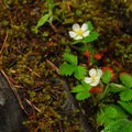 Woods strawberry (Fragaria vesca).- Lava Canyon