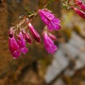 Woodland penstemon (nothochelone nemorosa).- Lava Canyon