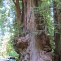 Redwoods dwarfing cars.- Jedediah Smith Redwoods State Park