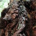 Detailed shot of a redwood.- Jedediah Smith Redwoods State Park