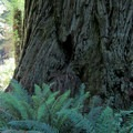Base of a redwood compared to an RV.- Simpson Reed Grove + Peterson Memorial Trail