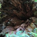The root system of a fallen redwood.- Simpson Reed Grove + Peterson Memorial Trail